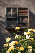 Sunlit rose shrub blooming with yellow flowers