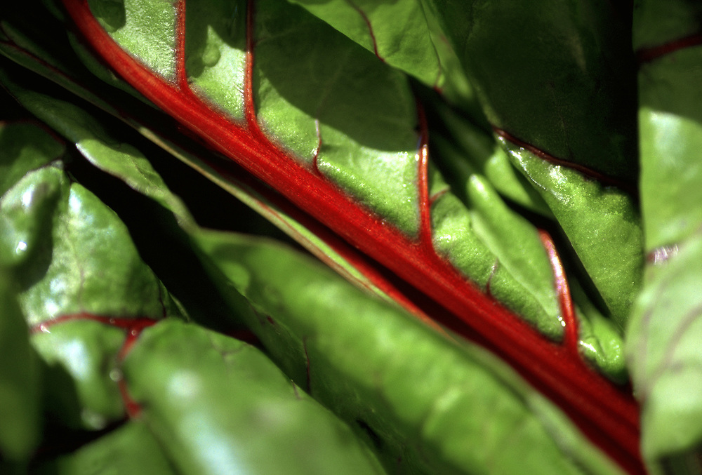 Close up selective focus photograph of a few Red Swiss Chard leaves