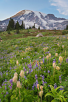 Wildflower meadows of Paradise containing  a mixture of Broadleaf Lupines, American Bistort, false hellebore, and Western Anenomes. Mount  Rainier National Park, Washington