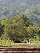 Family walking across a cultivated paddy field in southern Sri Lanka