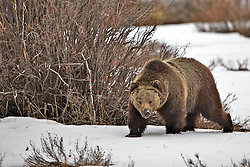 Big Boar Grizzly Bear in Grand Teton National Park
