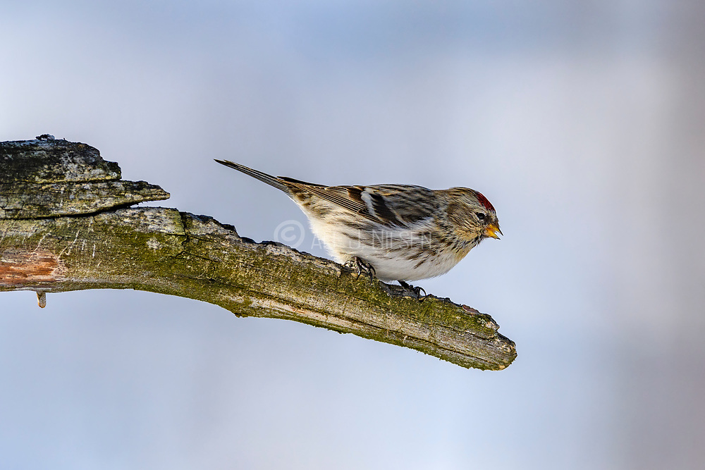 Common redpoll (Carduelis flammea, male) from Pasvik, Finnmark, Norway in March.