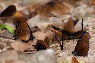 Crow butterflies (Euploea) in Kaeng Krachan National Park, Thailand.