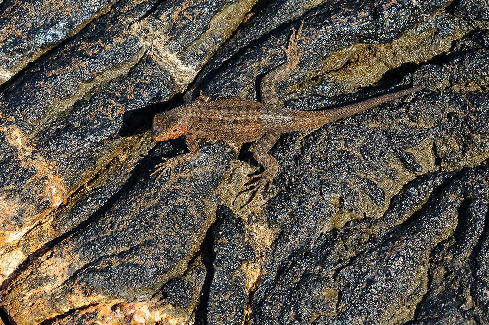 Galapagos Lava Lizard (Microlophus delanonis) from Santiago Island, Galapagos.