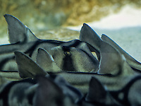 Il y a un mois, l'aquarium de Lyon recevait sept bébés requins, mis en quarantaine pour leur adaptation. Ils sont désormais visibles.<br /> Ces requins dormeurs, dits taureau ou Port Jackson (nom d'un port d'Australie), vivent habituellement dans les eaux tempérées d'Australie et de Nouvelle-Zélande. <br /> Il leur faudra 10 ans pour atteindre leur taille adulte, 1m40.