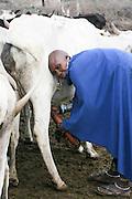 Africa, Tanzania, Maasai an ethnic group of semi-nomadic people woman milking cow