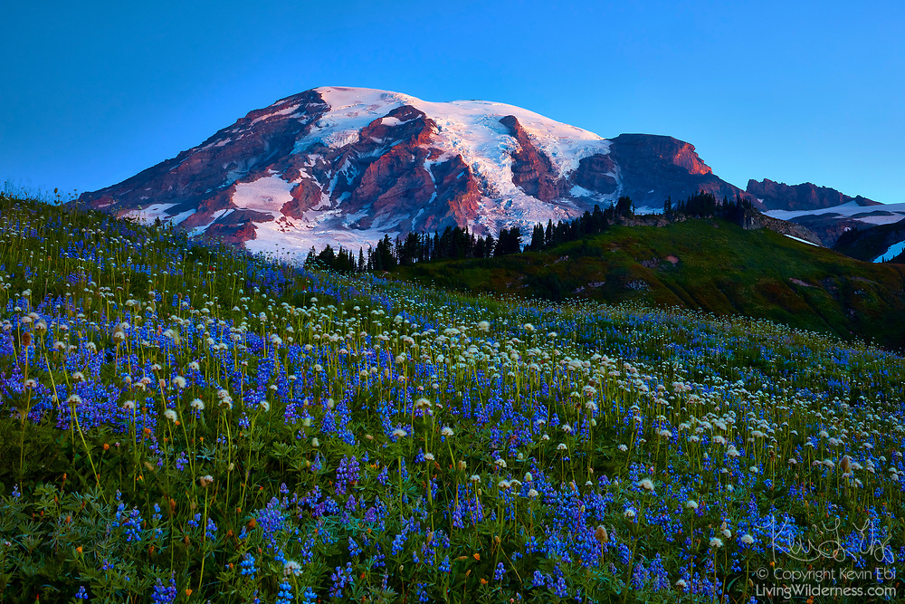 The Paradise meadow in Mount Rainier National Park, Washington, is full of wildflowers, mainly lupine (Lupinus lepidus) and cottongrass (Eriophorum angustifolium). Mount Rainier stands tall above the meadow. At 14,411 feet (4,392 meters), it is the tallest mountain in Washington state and the highest point the Cascade mountain range.