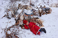 Mongolie, province de Khovsgol, les Tsaatans, éleveurs des rennes, transhumance hivernale, l'heure de la pause  // Mongolia, Khovsgol province, the Tsaatan, reindeer herder, winter migration, time for rest