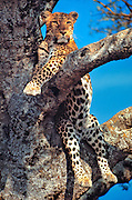 A watchful leopard rests in a tree in Masai Mara National Reserve, Kenya.