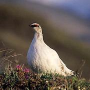 Rock Ptarmigan, (Lagopus mutus) Arctic National Wildlife Refuge. Alaska.