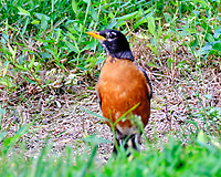 American Robin. Image taken with a Fuji X-T2 camera and 100-400 mm OIS lens.