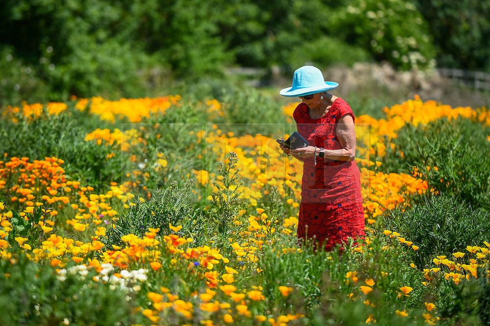 © Licensed to London News Pictures. 30/05/2020. WATFORD, UK. A woman wearing a sun hat views California poppies (Eschscholzia californica) currently flowering on a sunny day in a field in Watford.  The UK has experienced the sunniest spring since records began in 1929 including the driest May in some areas.  Photo credit: Stephen Chung/LNP