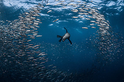 """June 19, 2015 - PORT SAINT JOHNS, SOUTH AFRICA:  SPECTACULAR images of marine and bird predators consuming a giant ball of hapless bait fish have been captured. Known as the """"Sardine Run"""" these raiders of the animal kingdom including dolphins, whales, Cape Gannet birds and Fur seals can be seen converging on a migrating bait ball of sardines as it makes its way along Port St. Johns, South Africa. Underwater Photographer Greg Lecoeur and marine enthusiast (37) made the journey from his hometown on Nice, France to document the migration, which happens in late-June each year. (Credit Image: © Media Drum World/MediaDrumWorld/ZUMAPRESS.com)"""