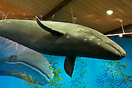 Model of grey whale hanging from ceiling at Point Vicente Interpretive Center, Palos Verdes Peninsula, California
