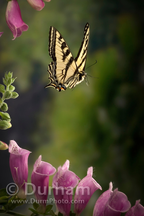 A western tiger swallowtail butterfly (Papilio rutulus) flying over foxglove flowers. Photographed with a high-speed camera in the coast range of Oregon.