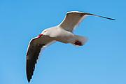 A Kelp gull, Larus dominicarus, flying.