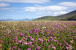 Machair, South Harris, Outer Hebrides, Scotland with red clover. Trifolium pratense