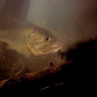 Micropterus salmoides, Large Mouth Bass, fish, underwater, habitat, environmental, portrait, studio set, created for Hummingbird Depth Finders and Walmart.