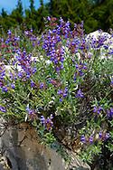 Wild Sage (Salvia) plantrs on the island of Pag Croatia