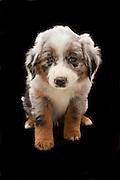 9 week old mixed breed (border collie / australian shephard) puppy. Western Oregon.