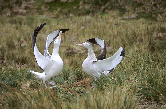 Wandering Albatross, (Diomedea exulans) Courting, (gamming). Prion Island. South Georgia Island.