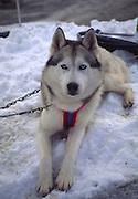 Husky dog, Alaska<br />