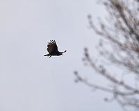 Turkey Vulture in flight. Image taken with a Nikon D5 camera and 600 mm f/4 VR lens (ISO 100, 600 mm, f/5, 1/1250 sec).