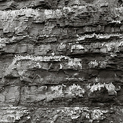 Part of a Guillemot colony on the cliffs of Pilaberget