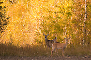 Photo Randy Vanderveen.Sturgeon Lake, Alberta.02/10/09.A family of white-tail deer watches the photographer from the relative safety of a stand of fall coloured trees surrounding a field near Young's Point Provincial Park on Sturgeon Lake.