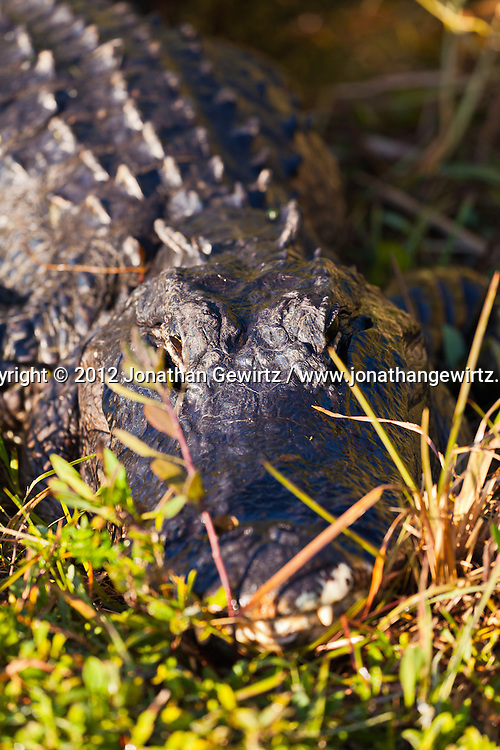 An American Alligator (Alligator mississippiensis) on the edige of a canal in the Shark Valley section of Everglades National Park, Florida. WATERMARKS WILL NOT APPEAR ON PRINTS OR LICENSED IMAGES.