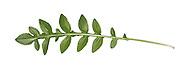 Greater Knapweed - Centaurea scabiosa
