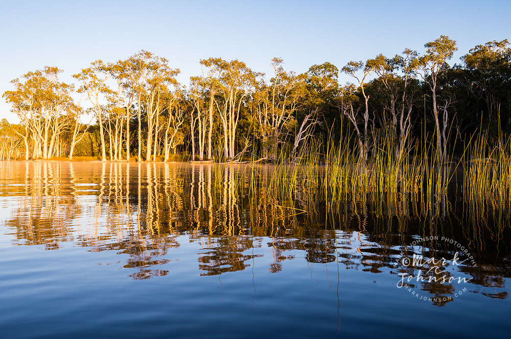 Paperbark trees reflected in calm and tranquil Lake Cootharaba, Elanda Point, Queensland, Australia