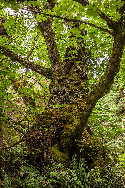 A Big leaf maple tree in South Whidbey Island State Park, Washington, USA.