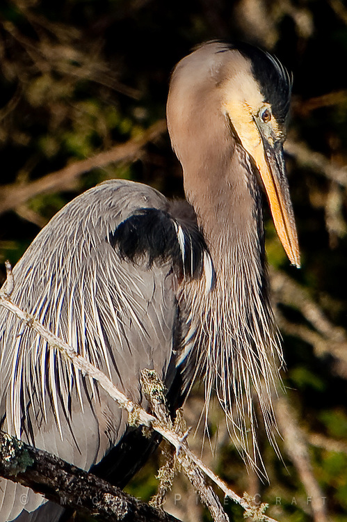 A Blue Heron looks for a morning meal on the shoreline of an eastern Ontario lake.  Part of the Canadian Shield, this area is one of North America's most beautiful, serene, and vast wild places. The landscape is unique because of the climate and its large number of fresh water lakes. These unique characteristics provide habitat for plenty of land and water life. The landscape and abundance of wildlife also make this area a rich source of inspiration for fine art images and nature photography.