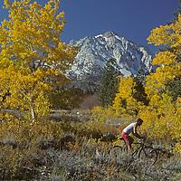 A mountain biker rides below fall colored aspens in the eastern Sierra Nevada above Bishop, California.