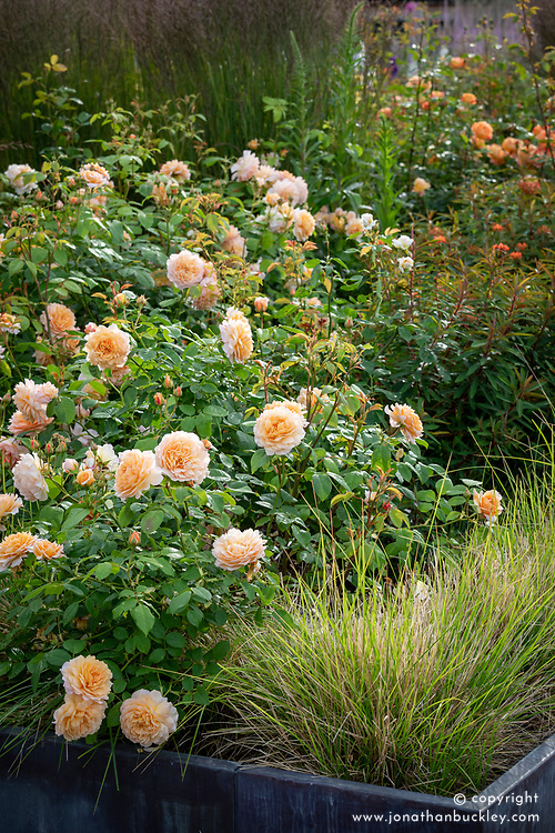 Rosa 'Grace' syn. 'Auskeppy' AGM amongst grasses and euphorbia at Wynyard Hall
