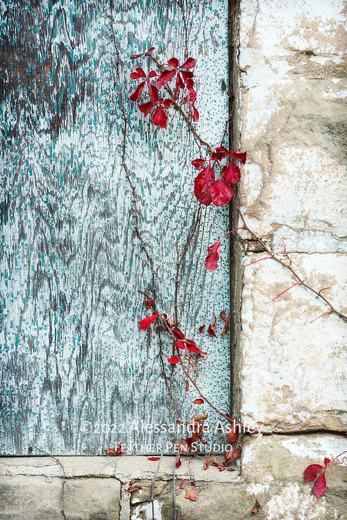 Detail of red vines on weathered vintage barn surfaces in autumn, rural northeast Ohio.