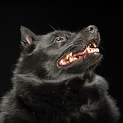 Black dogs project photo for sale. Schipperke dog looking up