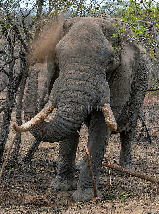 Huge African elephant (Loxodonta africana) with big tusks blowing dust in Kruger National Park, South Africa.