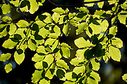 Common Beech Tree Leaves, Fagus sylvatica, Bucegi Mountains, Romania