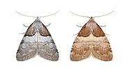 74.003 (2077)<br /> Short-cloaked Moth - Nola cucullatella