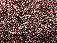 Black Mustard seeds stock photos