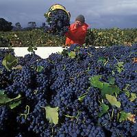 Australia, South Australia, (MR) Pickers harvest grapes in orchard near Nurioopta in Barossa Valley wine region.