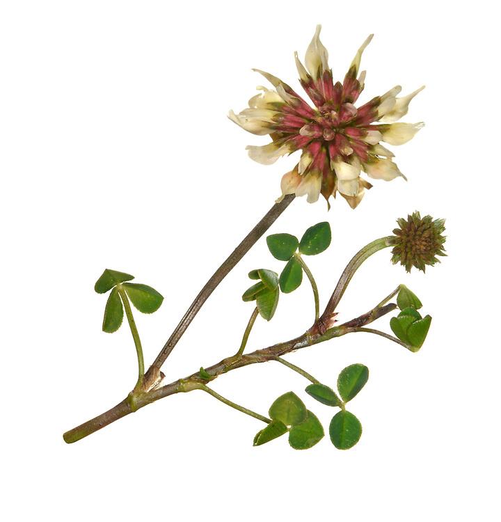 Western Clover - Trifolium occidentale