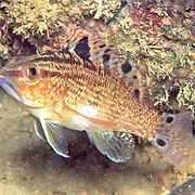 Twinspot Bass inhabit sea grass beds, shallow reefs and areas of mixed sand and rubble in the Caribbean; picture taken Trinidad.
