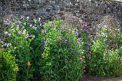 Sweet peas growing up a birch supports at Parham House. Lathyrus odoratus 'North Shore' in centre