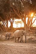 Desert Elephant and calf, The Kaokoveld Desert, Kaokoland, Northern Namibia, Southern Africa