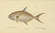 Trachinotus from Histoire naturelle des poissons (Natural History of Fish) is a 22-volume treatment of ichthyology published in 1828-1849 by the French savant Georges Cuvier (1769-1832) and his student and successor Achille Valenciennes (1794-1865).