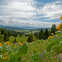 Arrowleaf balsamroot flowers bloom in the Bridger Mountains near Bozeman, Montana.  The Gallatin and Madison Ranges rise in the background.