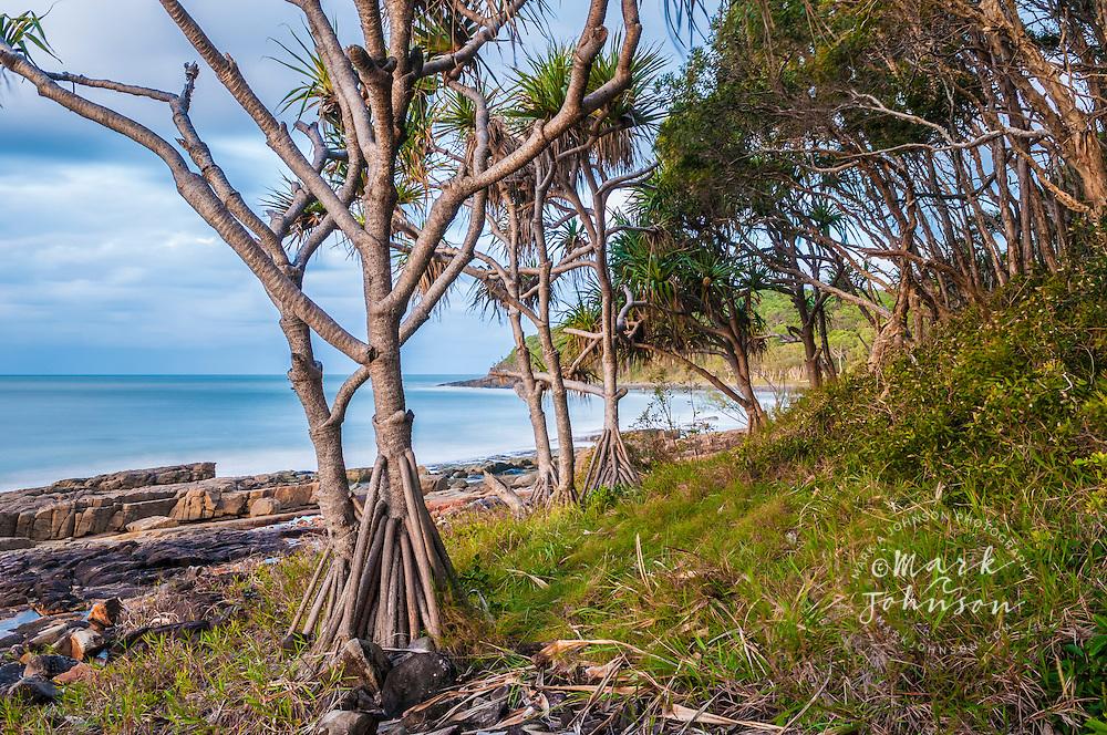 Pandanus trees on the shore of Tea Tree Bay, Noosa National Park, Sunshine Coast, Queensland, Australia